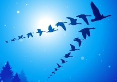 Geese-iStock-small
